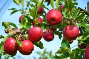 Apple tree an example of Angiosperm
