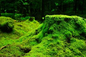 Green layer of mosses
